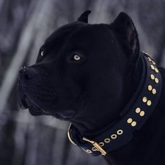 Uplifting So You Want A American Pit Bull Terrier Ideas. Fabulous So You Want A American Pit Bull Terrier Ideas. Cute Names For Dogs, Cute Dogs, All Black Pitbull, Black Pitbull Puppies, Pitbull Noir, Pitbull Wallpaper, American Staffordshire Terrier, Pit Puppies, Scary Dogs