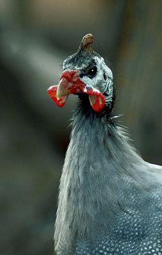 Horned Guineafowl