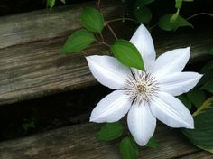 Sid's Clematis