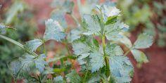 Τα 10 πιο εύκολα φθινοπωρινά λαχανικά για καλλιέργεια | Τα Μυστικά του Κήπου Herbs, Gardening, Lawn And Garden, Herb, Horticulture, Medicinal Plants