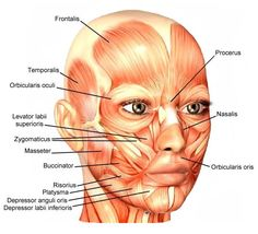 ANATOMY: Facial Muscles. Tension first builds on the face, learn to loosen up! The muscles of the face are unique among groups of muscles in the body. While most muscles connect to and move only bones, facial muscles mostly connect bones to skin.
