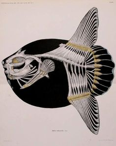 Illustration of the skeleton of the Mola Mola (Mola rotunda), the ocean sunfish… Animal Skeletons, Animal Skulls, Science Illustration, Botanical Illustration, Science Art, Science And Nature, Zoo 2, Fish Skeleton, Kunstjournal Inspiration