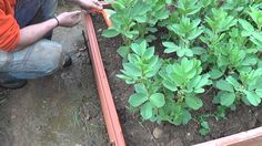 Como Plantar Cebollas En Bancal De Abono Verde || Siembra Organica || La Huertina De Toni