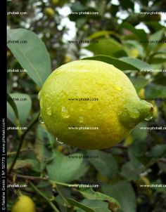 http://www.photaki.com/picture-lemon-drops-lemon_50779.htm