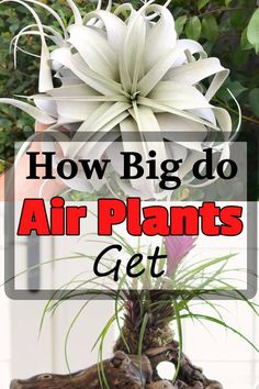 Beginners often ask, how big do air plants get? Well, the size of air plants depends upon the type you are growing. Here's the detailed drill-down of air plants varieties and their sizes. Sea Plants, Large Plants, Water Plants, Types Of Air Plants, Air Plants Care, House Plant Care, Gardening Tips, Indoor Gardening, How To Grow Taller
