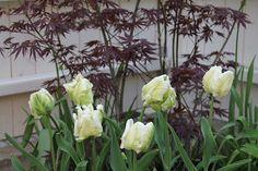 vardagens guldkorn: trädgård Tulips and maple