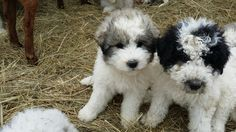 Litter of 8 Great Pyrenees-Komondor Mix puppies for sale in GERALD, MO. ADN-24601 on PuppyFinder.com Gender: Male(s) and Female(s). Age: 8 Weeks Old