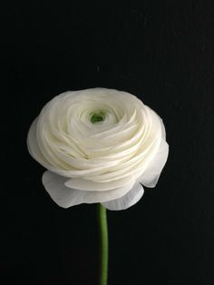 Excellent Pictures white Ranunculus Style If perhaps its heyday bulbs are one involving nature's mysteries, viewing the claw-like tuber of any ranunc Types Of Flowers, Fresh Flowers, White Flowers, Beautiful Flowers, Pink Roses, Pink Peonies, Yellow Roses, Purple Flowers, Beautiful Pictures