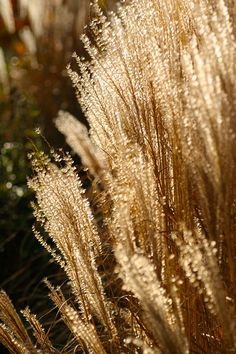 blooming-inspiration:    grasses in autumn- on Flickr.  Autumn light filters through grasses. the year closes