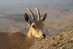 Capra ibex nubiana near Mitzpe Ramon in summer 2011 (4).JPG