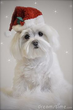 Photo about Little white maltese dog wearing a red santa hat sitting on a blanket with snowflakes falling around maltese. Image of blanket, white, seasonal - 18043806 Christmas Puppy, Christmas Night, Christmas Animals, Dog Stock Photo, Merry Christmas Pictures, Teacup Maltese, Maltese Puppies, Watercolor Christmas Cards, Malteser