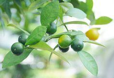 greenhouse citrus