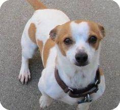 Lomita, CA - Jack Russell Terrier/Welsh Corgi Mix. Meet Wally, a dog for adoption. http://www.adoptapet.com/pet/11007352-lomita-california-jack-russell-terrier-mix