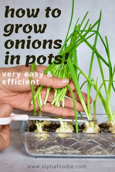 A super simple How-To for growing spring onions at home from food scraps, to re-use numerous times! Two methods that can both be done indoors, with little space and mess and no onion seeds necessary! Growing Spring Onions, Green Onions Growing, Growing Greens, Growing Tomatoes, Growing Vegetables, Fruits And Vegetables, Small Tomatoes, Cherry Tomatoes
