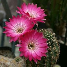 Echinopsis winteriana (old name: Lobivia wrightiana) Flowering Succulents, Cacti And Succulents, Planting Succulents, Garden Plants, House Plants, Planting Flowers, Cactus Pictures, Flower Pictures, Desert Flowers