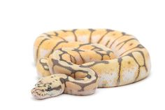 Humble Bee Ball Python.. one of my most favorite snakes