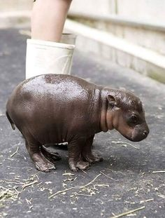 This is a 2 hour old baby hippo. Say hi!