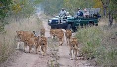 Lions, Kruger National Park, South Africa