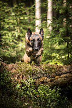 Hundefotografering i skogen. Lekne bilder med frie hunder! Actionbilder viser hunden i sitt rette element. Med naturlig lys og blits Kangaroo, Fox, Animals, Nature, Baby Bjorn, Animales, Animaux, Animal, Animais