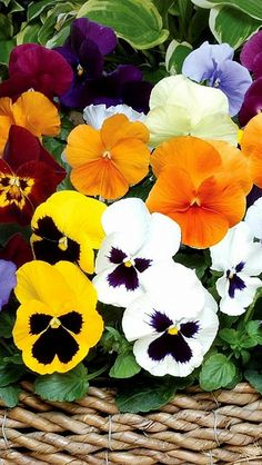 One of the hardest decisions in spring is deciding what color pansies to get!