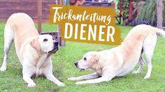 Anleitung: DIENER beibringen   Hund Tricks VERBEUGEN   Hundetricks ikaru...