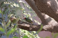 Coppersmith Barbet #birds #mumbai