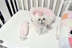 beuatiful micro maltese namw is Ariana. She is fully grown 2 pound. Exotic Animals, Exotic Pets, Animals And Pets, Cute Fluffy Puppies, Teacup Puppies For Sale, Teacup Pomeranian, Teacup Maltese, Maltese Puppies For Sale, Maltese Dogs