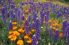 Lupine and Poppies Tehachapi Mountains California