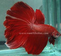 Giant Siamese Fighter Bettas. GIANT HALFMOON RED