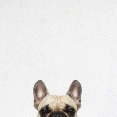 13 Best Wallpapers Images French Bulldog French Bulldog