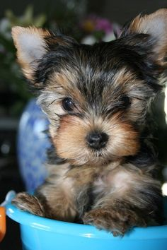 Yorkshire Terrier Puppies | CKC Yorkshire Terrier Puppies Picture