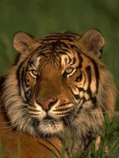 gif tiger images | Tags: Tiger Animated. screensaver 240x320 wallpaper240X320 wallpaper ...