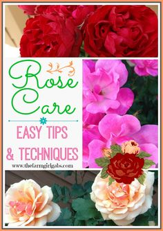 Simple Rose Care tips and techniques for gardeners. Follow these simple steps for beautiful flowers.