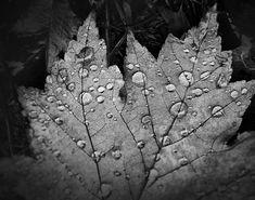 Rain Drops on Fallen Leaf (PA172578)