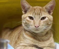 ADOPTED>Intake: 10/7 Available: 10/13 NAME: Shere Khan  ANIMAL ID: 33681592 BREED: DSH SEX: Male  EST. AGE: 1 yr  Est Weight: 7 lbs Health:  Temperament: Friendly ADDITIONAL INFO: Found in Mt Pleasant  RESCUE PULL FEE: $35