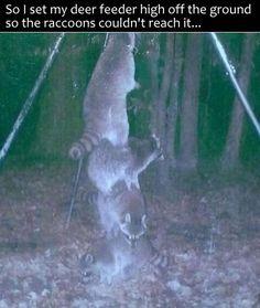 Awesome Raccoon Team Work.