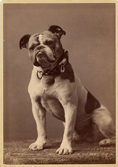 The original Handsome Dan, purchased by Yale tackle Andrew Graves from a local blacksmith in 1889. Handsome Dan is a bulldog who serves as the mascot of Yale University's sports teams.