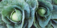 Τα 10 πιο εύκολα φθινοπωρινά λαχανικά για καλλιέργεια | Τα Μυστικά του Κήπου Cabbage, Gardening, Vegetables, Plants, Lawn And Garden, Cabbages, Vegetable Recipes, Plant, Brussels Sprouts