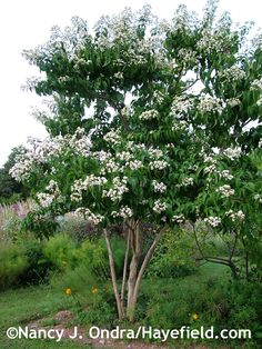 Heptacodium is deer resistant, and the butterflies and bees absolutely love the blossoms. Provide it with lots of sunshine. Pruned as a small tree it can be the focal point of a small garden, or planted en masse it would make a showy hedge. It's perfectly hardy in zones 5-8.  It prefers only 3 good strong trunks...