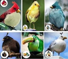The real birds of Angry birds!