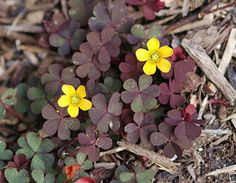 Woodsorrel Oxalis Spp.      leaves are edible raw.     leaves have a sour taste.     flowers are eible raw.     leaves and flowers are  tastier when cooked.