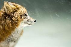 Arctic foxes by Ivan Kislov