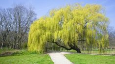 Weeping willow --Though many kinds of willow trees exist, it is hard to mistake the Weeping Willow for any other tree because of its elegant, drooping branches.
