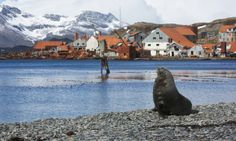 A fur seal at Leith Harbour, South Georgia The Guardian