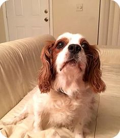 12/10/15 West Palm Beach, FL - Cavalier King Charles Spaniel. Meet Oliver the Cavi, a dog for adoption. http://www.adoptapet.com/pet/14505475-west-palm-beach-florida-cavalier-king-charles-spaniel