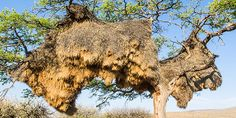 Absurd Creature of the Week: The Bird That Builds Nests So Huge They Pull Down Trees | Science | WIRED