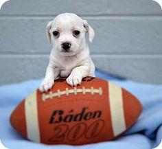 Chandler, AZ - Beagle/Chihuahua Mix. Meet Cotton, a puppy for adoption. http://www.adoptapet.com/pet/15292221-chandler-arizona-beagle-mix