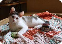 Nashville, TN - Domestic Shorthair. Meet Opal a Kitten for Adoption.