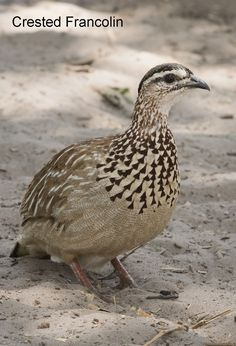 Crested Francolin | NatureFocus | Nature Photography by Roger Marchant South African Birds, Monk Parakeet, Green Pigeon, Herring Gull, Muscovy Duck, Harpy Eagle, Red Bill, Wood Owls, World Birds