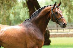Con Coriano - 2004 Holsteiner warmblood stallion